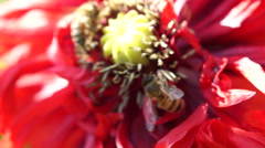 Bees Pollinating Red Poppy In Wind Stock Footage