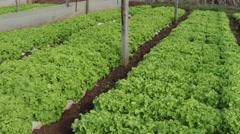 Lettuce farming Stock Footage