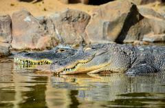 Amphibian Prehistoric Crocodile Stock Photos