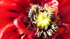 Closeup Bees Gathering Pollen From A Poppy Flower Stock Footage