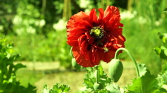 Red Poppy In Wind With Bees Stock Footage