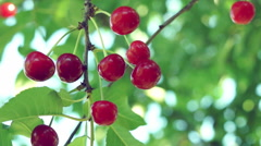 A Sour Cherry e Twig In Tree In Morning Sun - stock footage