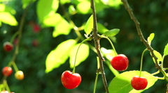 A Sour Cherry  Twig In Tree In Morning Sun - stock footage