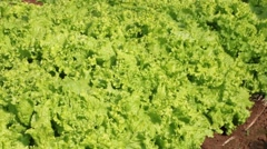 Lettuce production Stock Footage