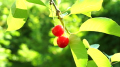 Almost Transparent Sour Cherry   In Tree In Morning Sun - stock footage