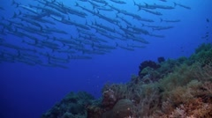 Coral reef with a school of barracudas Stock Footage