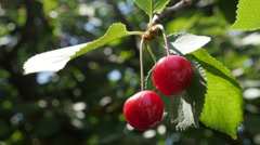 Cherry tree branch with  pair of tasty fruit on wind 4K 2160p UltraHD footage Stock Footage