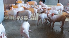 Pigs in farm Stock Footage