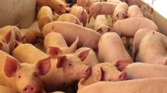 small pigs - stock footage