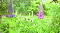 Summer rain storm in field of purple lupin flowers Stock Footage