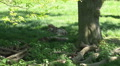 Two wolves relaxing in tree shadow at spring season HD Footage