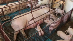 Pig farming Stock Footage
