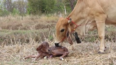 Brown cow licking newborn calf Stock Footage