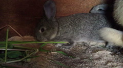 Two young pet rabbits eating Stock Footage