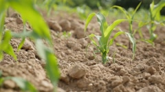 Home grown corn field  young plants  on the wind waving slow motion   1080p F Stock Footage