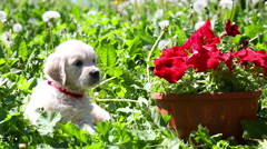 Beautiful little golden retriever puppy in nature Stock Footage
