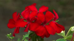 Red flower petunia Stock Footage