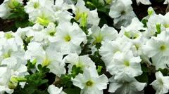 White petunia flower Stock Footage