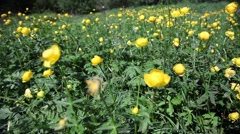 Globeflower (Trollius) blooms on a meadow Stock Footage