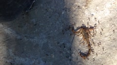 Dead scorpion eaten by ants team work Stock Footage