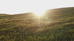 Aerial dolly view of flying over a wheat field sunset evening Stock Footage