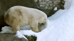 The polar bear (Ursus maritimus) Stock Footage