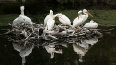 A pelican is a bird of the family Pelecanidae. Stock Footage