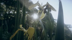 Sun shines through the yellow flower marsh iris and thickets Stock Footage