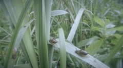 Marsh snail crawling on a green blade of grass on a bush mint Stock Footage