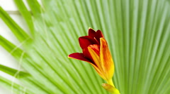 Day Lily comes to life with a full blossom - stock footage