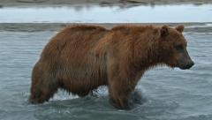 Grizzly Bear (Ursus arctos horribilis) walking in front of camera Stock Footage