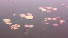 Colorful Lilies In The Pond Pastel Shades - stock footage