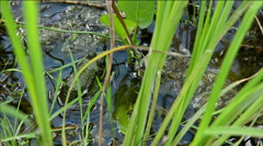 Frog in water close-up. - stock footage