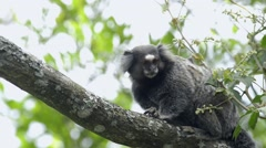 White-eared marmoset  running on the branch of tree Stock Footage