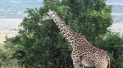 Giraffe at Masai Mara savannah, Kenya safari - stock footage