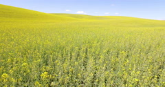 Aerial dolly flying over yellow canola flower field Stock Footage