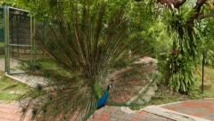 Peacock with expanded tail fan on walkway split, courtship ritual Stock Footage