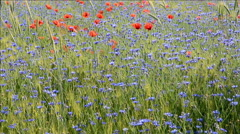 Field with cornflowers and red poppies. Stock Footage