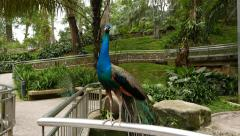 Peacock male stands on fence, close up parallax shot Stock Footage