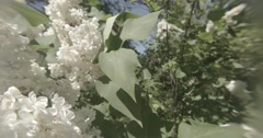 Stock Video Footage of Neon green chafers on a white lilac swaying in the wind close up