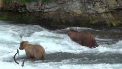 New Brown Bear Upsets Two Bears Already Fishing For Salmon Stock Footage
