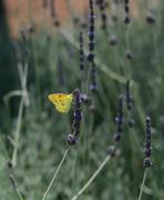 Butterfly Clouded Yellow (Colias croceus) - stock photo