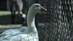 Quizzical goose staring out through fence - stock footage