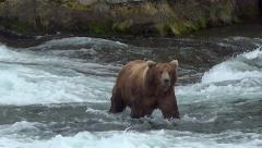 Brown Bear Boar Sniffing for a Female Starts Across River Towards Camera Stock Footage