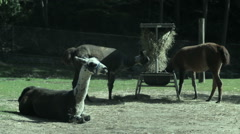 Some llamas eating hay in their zoo enclosure - stock footage