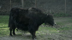 Yak scratches snout with back hoof Stock Footage