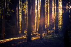 Mysterious Forest Trail. Redwood Forest Landscape Stock Photos