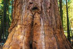 Giant Sequoia Bark Closeup. Stock Photos