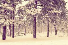 Winter Forest Vista. - stock photo