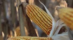Gold cornfield Stock Footage